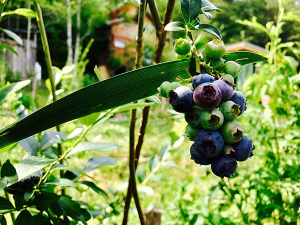 ripe blueberries at the wild abundance permaculture school