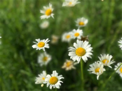 oxeye daisy wildcrafting herb