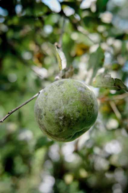 closeup of an apple on a branch