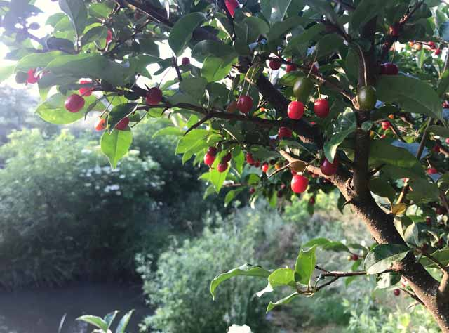 Goumi berries permaculture plant