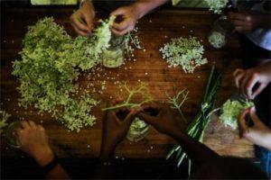 herbal medicine apprenticeship processing elderflowers