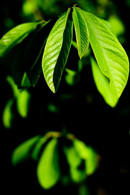 paw paw tree leaves