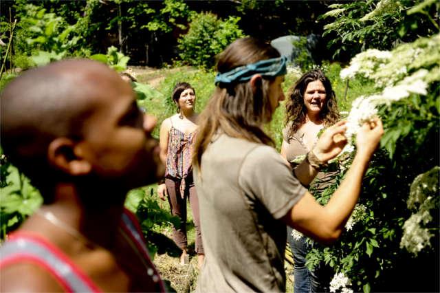 harvesting elder flowers for herbal medicine making