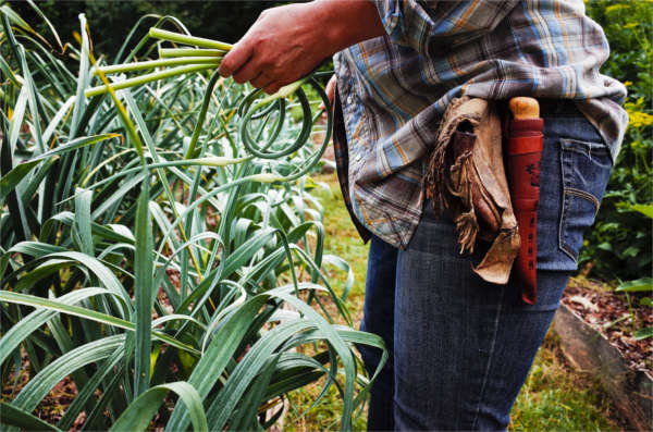 gathering garlic scapes in a permaculture garden