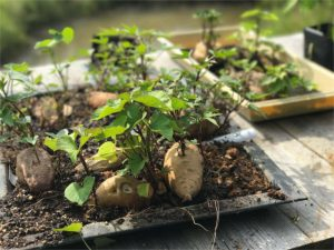 sprouting sweet potato slips for a sustainable homestead