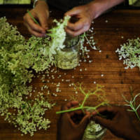 processing wildcrafted elderflowers for medicine making