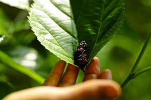 mulberry from a mulberry tree in a leaf with hand