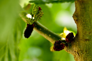 axils of a mulberry tree bearing fruit