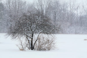 a dormant fruit tree in winter snow
