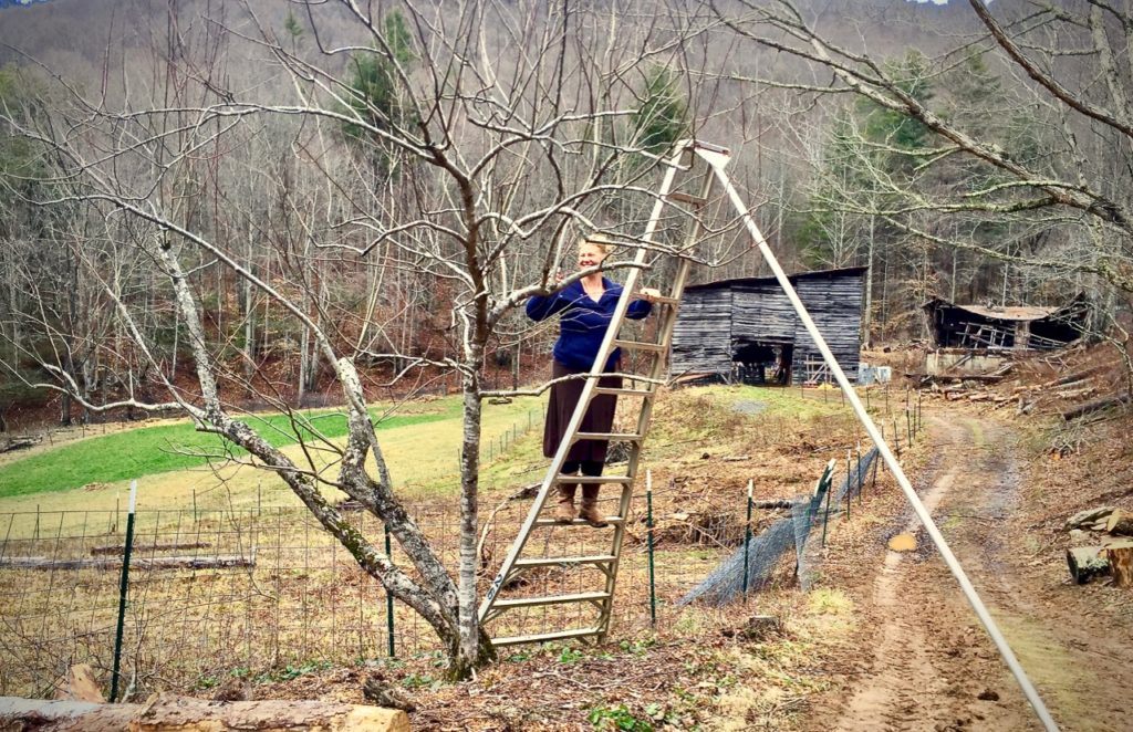 Woman on an orchard ladder pruning and apple tree in winter
