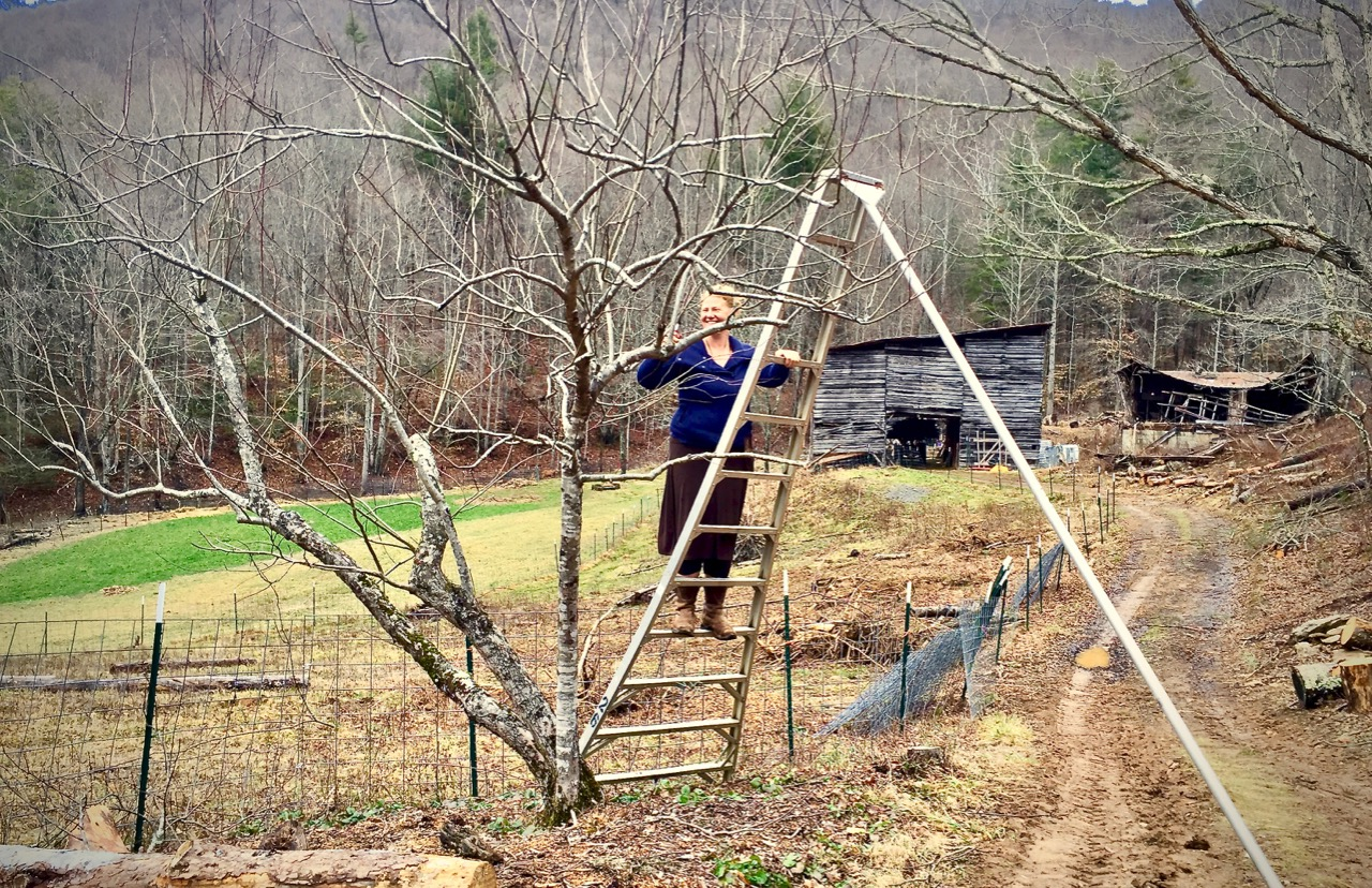 woman on orchard ladder pruning and apple tree in winter