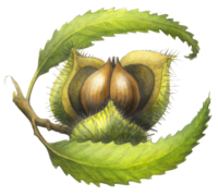 Chestnut School of Herbal Medicine logo