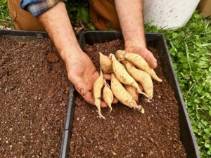 ideal sized tubers for growing sweet potato slips