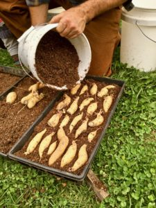 covering tubers to grow sweet potato slips