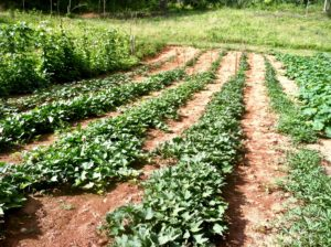 field of sweet potatoes