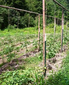 how to stake tomatoes with a string trellis