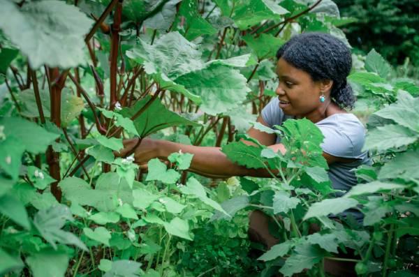 apprentice harvesting okra for self sufficiency
