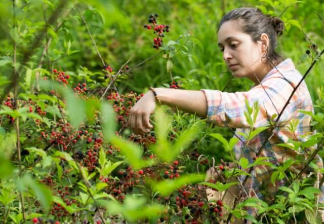 wild abundance apprentice harvesting blackberries