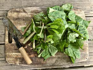 chopped pokeweed to make poke salad poke sallet