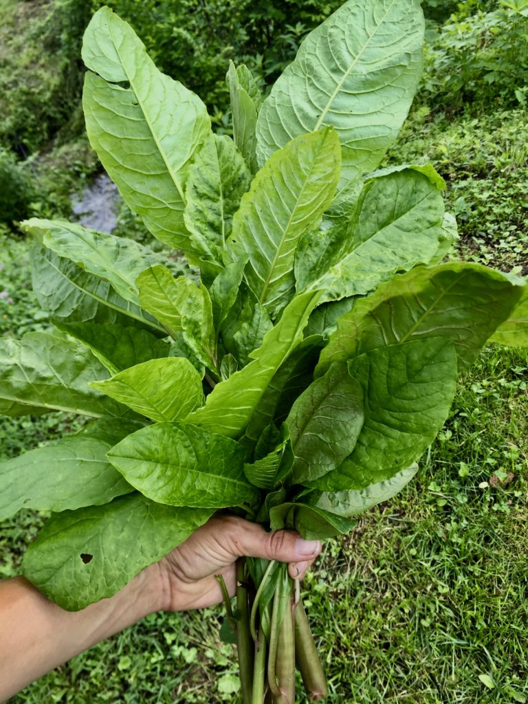 young pokeweed leaves for poke salad poke salat
