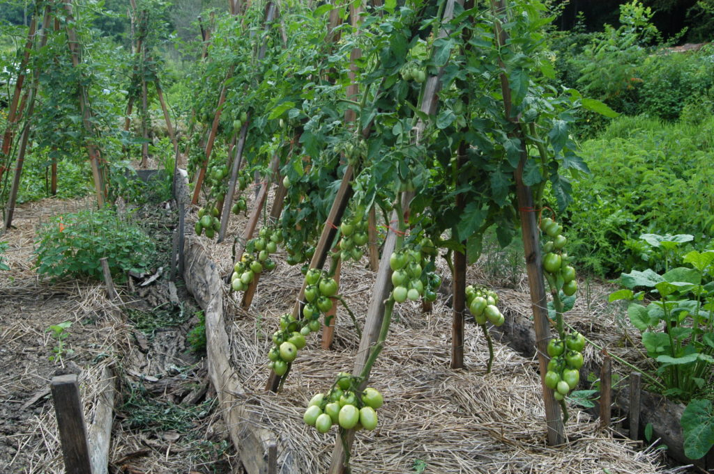 how to stake tomatoes with a bamboo trellis