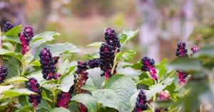 pokeweed with berries