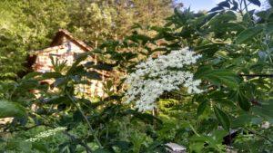 elderberries flowering