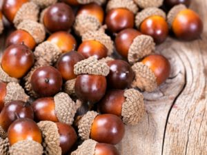 acorns to eat