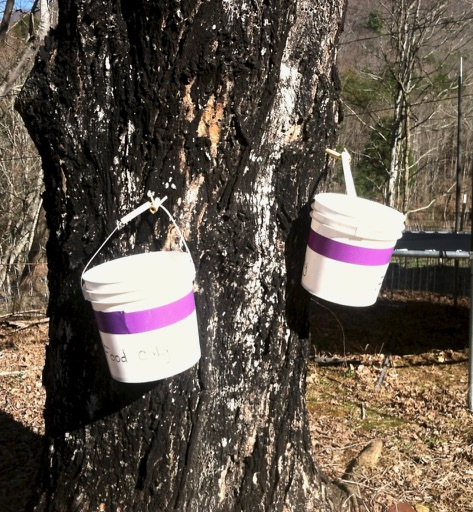39ac0aebe0e Buckets hanging from a sugar maple tree collecting sap for making maple  syrup