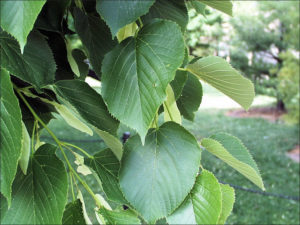 American basswood leaves linden tilia