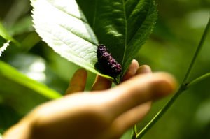 mulberry is a perennial crop
