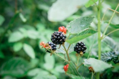 perennial berries at permaculture school