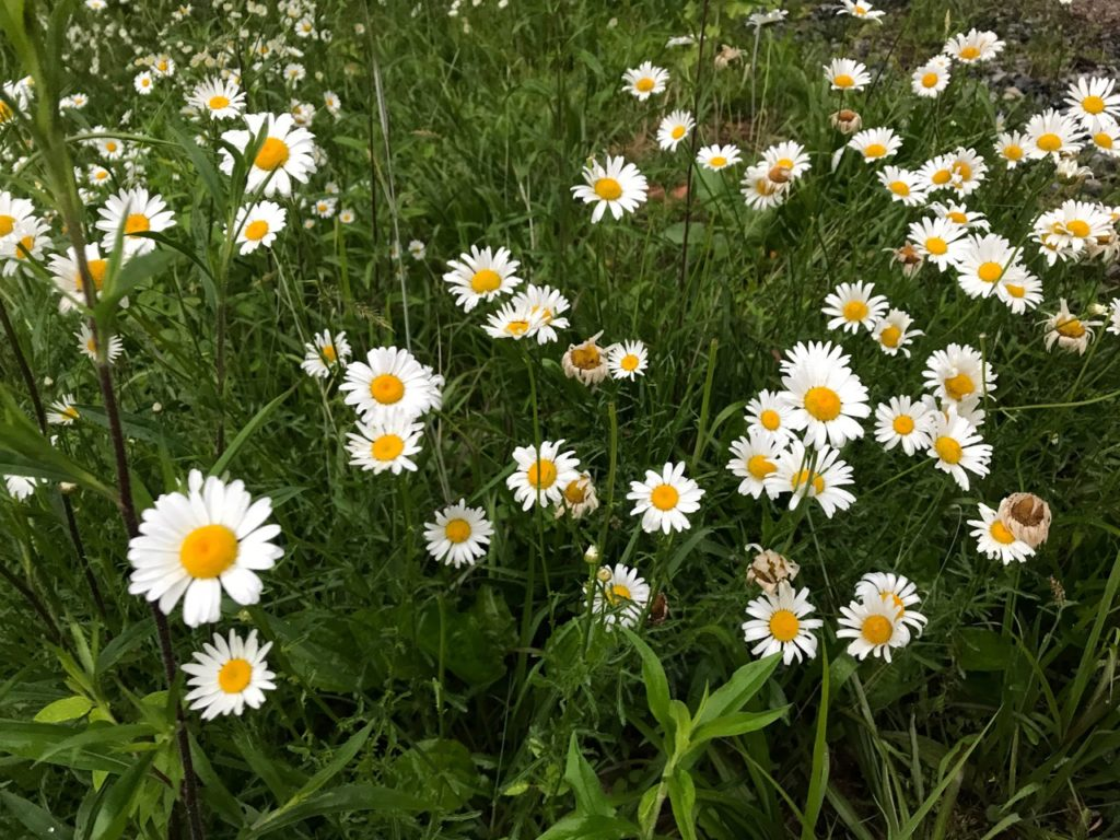 Oxeye daisy edible weed