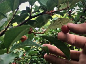 hand picking a goumi berry