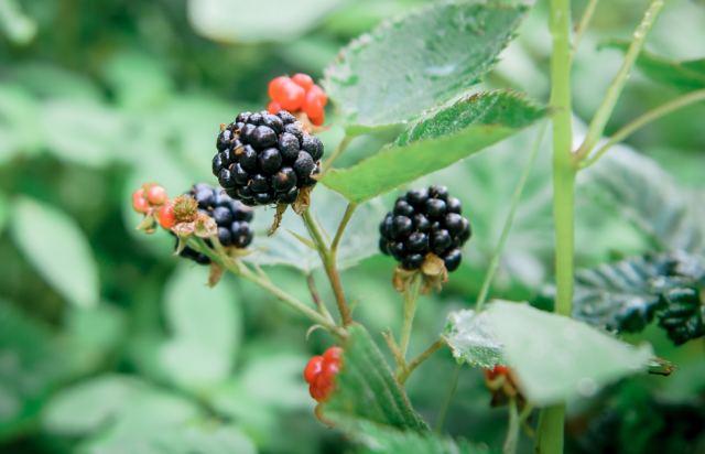 perennial raspberries in permaculture garden