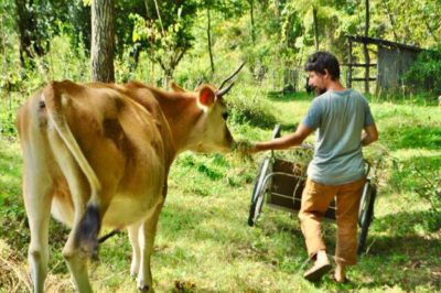 man feeding a jersey cow on his homestead