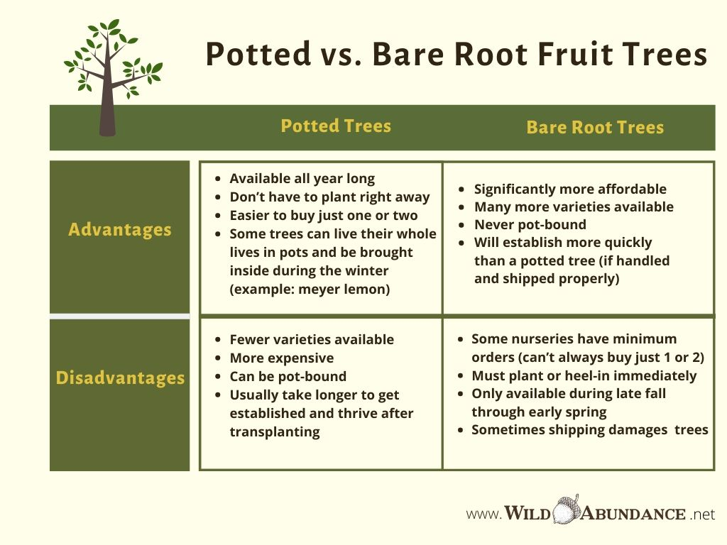 chart comparing bare root vs. potted fruit trees advantages and disadvantages