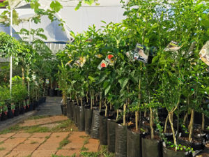 potted fruit trees in a nursery