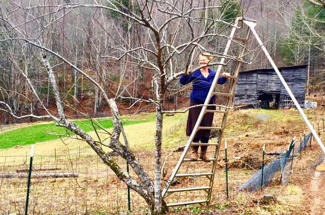 woman standing on an orchard ladder pruning a dormant apple tree