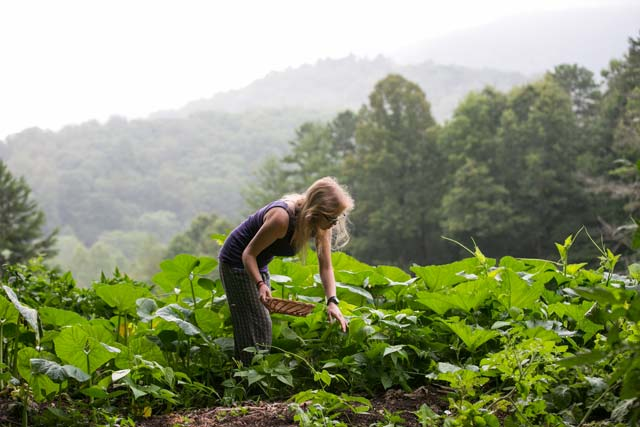 permaculture apprentice harvesting beans in the garden