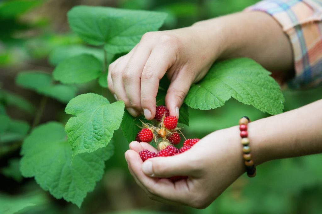 closeup of hands picking wineberries