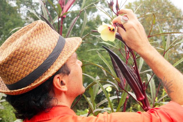 examining red okra flower