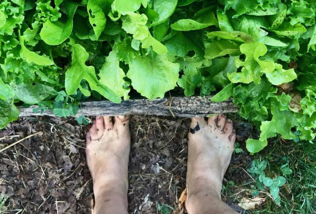 bare feet and lettuce plants