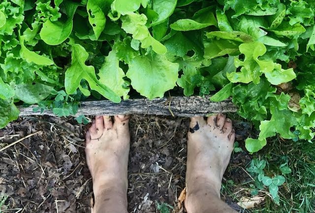 Feet standing next to bed of lettuce in a garden