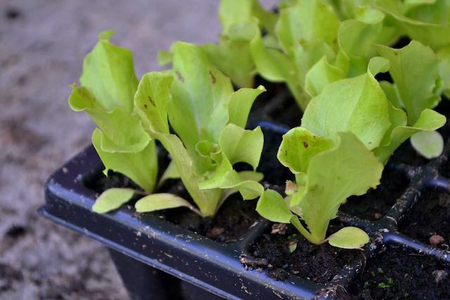 Lettuce seedlings in a flat