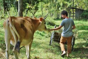 man feeding a jersey cow by hand