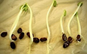 sprouting seeds in a germination test