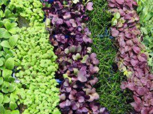 colorful microgreens