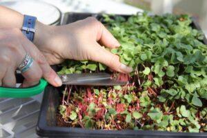 Harvesting radish microgreens with scissors