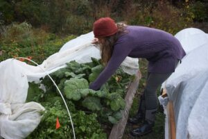 harvesting kale from under row cover